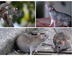 Quanti anni hanno vissuto ratti