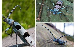 Scarabeo beetle alpino