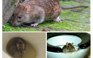 Può un topo uscire dalla toilette