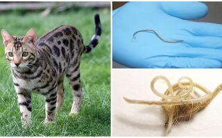 Sintomi e trattamento di ascariasis nei gatti