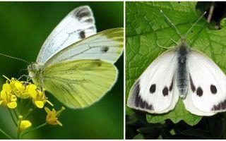 Descrizione e foto di bruchi e farfalle cavoli
