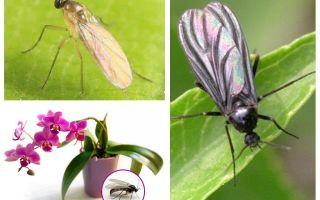Cosa fare se i moscerini vengono allevati nelle orchidee