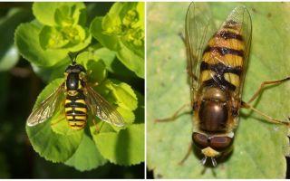 Descrizione e foto di una mosca a strisce che ricorda una vespa