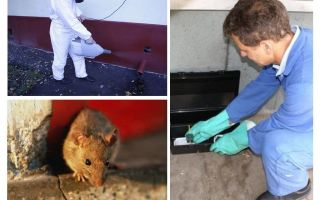 Sterminio di ratti e topi da parte di servizi specializzati