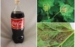 Coca-Cola dall'afide