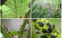 Come affrontare gli afidi nel giardino e nel giardino dei rimedi popolari