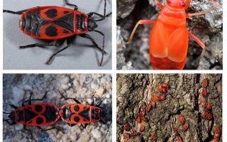 L'insetto del soldato (ala senza ali rossa)