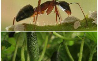 Come affrontare le formiche in giardino con i cetrioli