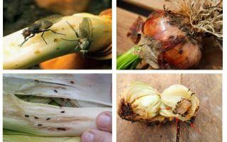 Come sbarazzarsi dei moscerini della cipolla