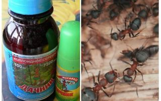 Significa il residente estivo dalle formiche