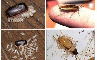 Come allevare scarafaggi domestici