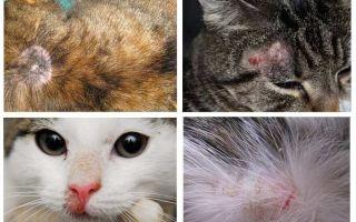 Perché un gatto prude se non ci sono pulci