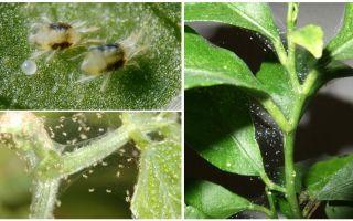 Come sbarazzarsi di acari di ragno su piante d'appartamento