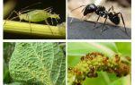 Tipo di relazione di formiche e afidi
