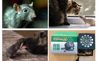Di cosa hanno paura ratti e topi?