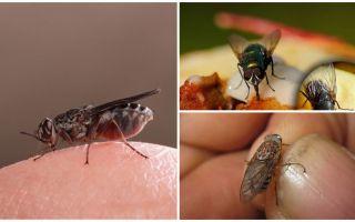 Perché le mosche atterrano sugli umani