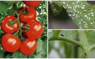 Come processare pomodori da mosche bianche e nere