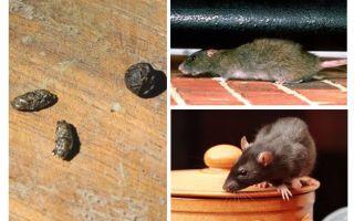 Come trattare con i topi nell'appartamento
