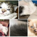 Pulci in gatti e gattini