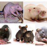 Ratti decorativi