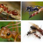Corpo della formica