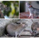 Ratti selvatici