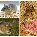Stile di vita del mouse