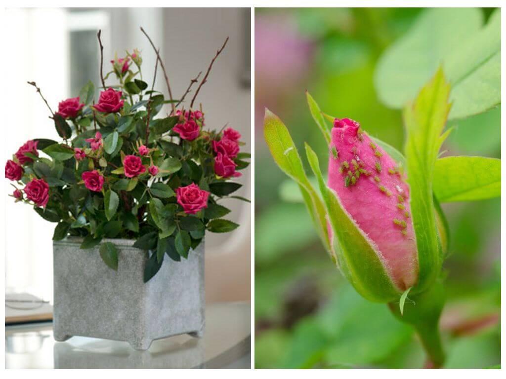 Combattere Afidi Delle Rose afidi sulle rose - come combattere i rimedi popolari e le