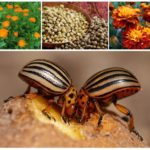 Erbe dallo scarabeo della patata del Colorado