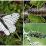 Caterpillar e Butterfly Hawthorn