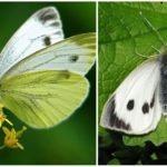 Cavolo farfalla