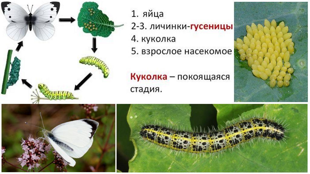Ciclo di sviluppo della ciotola di farfalle