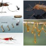 Allevamento di zanzare