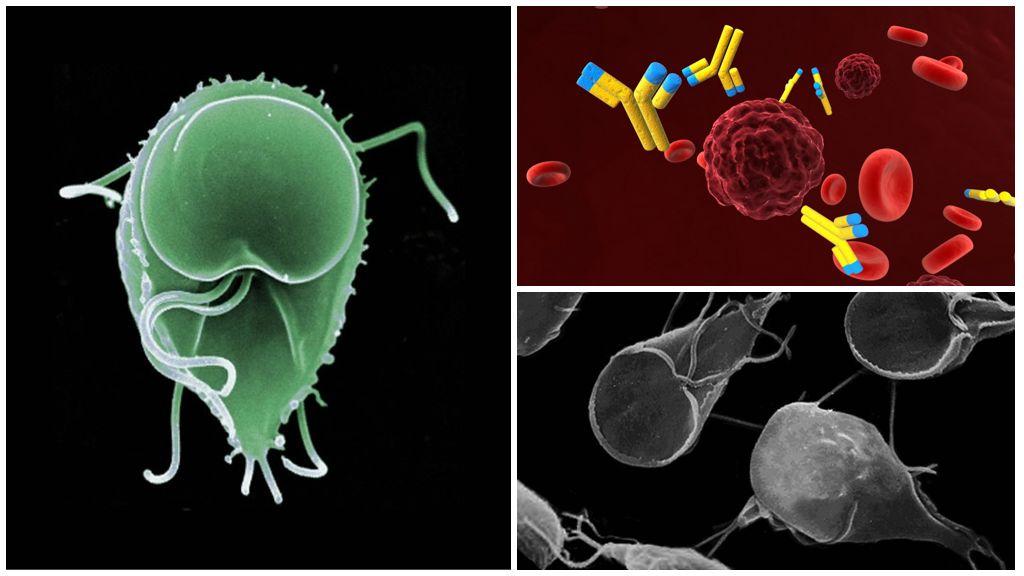 Anticorpi a Giardia