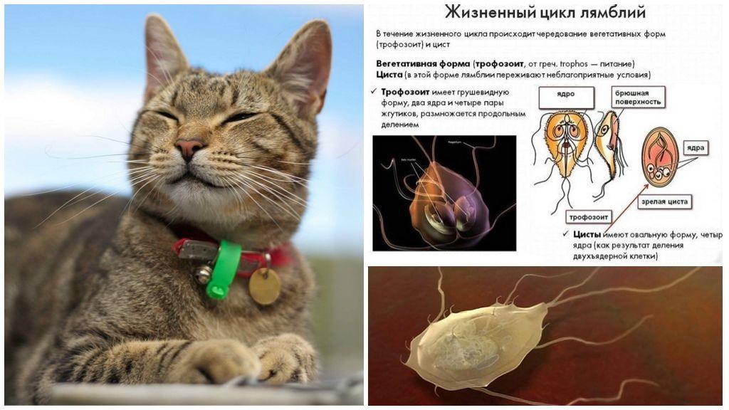 Giardia nei gatti